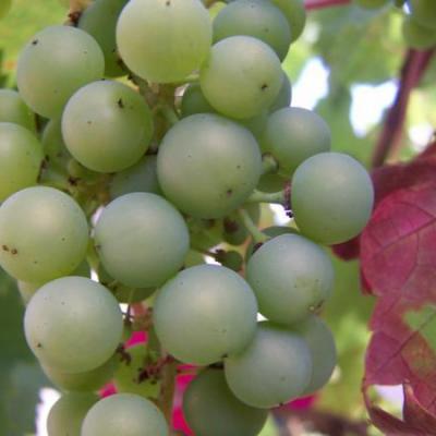 Wijnverkoper